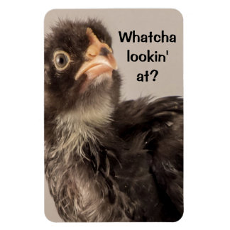 Frowning Baby Chicken with Black Feathers Rectangular Photo Magnet