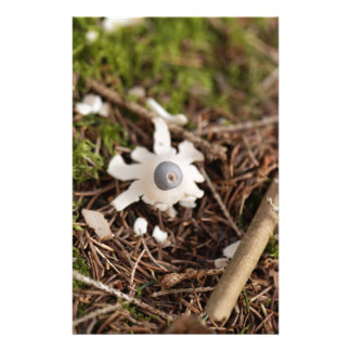 Fruit body of a rayed earthstar (Geastrum quadrifi Stationery