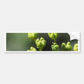 Fruit of a common rue (Ruta graveolens) Bumper Sticker