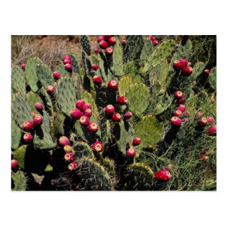 Fruited prickly pear cactus, Sonoran Desert Postcard