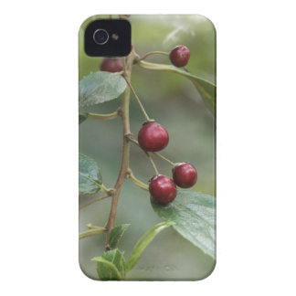 Fruits of a shiny leaf buckthorn iPhone 4 case
