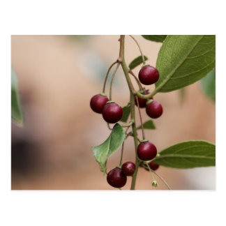 Fruits of a shiny leaf buckthorn postcard