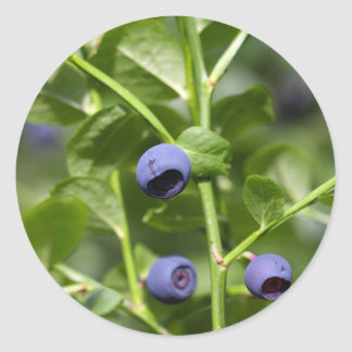 Fruits of the European blueberry Classic Round Sticker