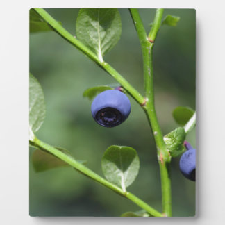 Fruits of the European blueberry Plaque