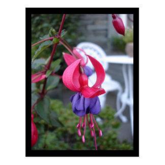 Fuchsia in Ambleside [Postcard] Postcard