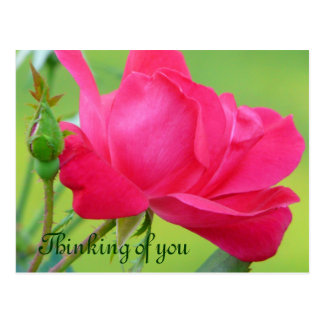 Fuchsia pink rose/Thinking of You Postcard