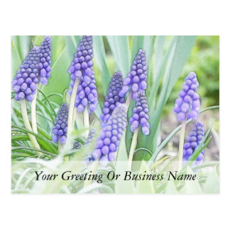 Full Bloom - Grape Hyacinths! Post Cards