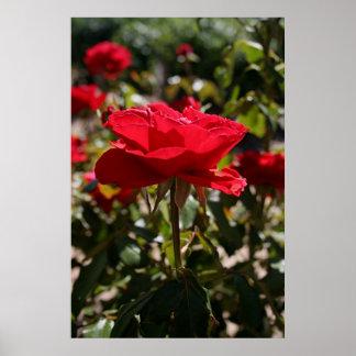 Full Bloom Red Rose Poster