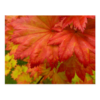 Full Moon Maple Leaves Postcard