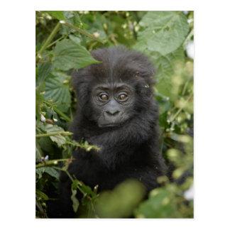 funny baby mountain gorilla, beringei beringei postcard