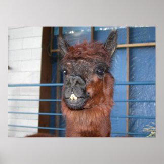 Funny Face Llama Poster