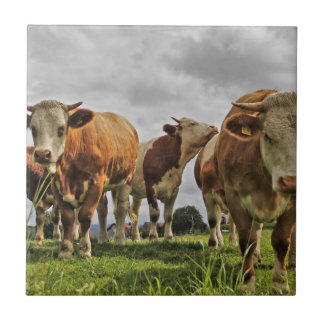 Funny Herd of Cows in Pasture Tile