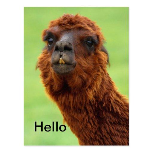Funny Llama Postcard - All Occasion
