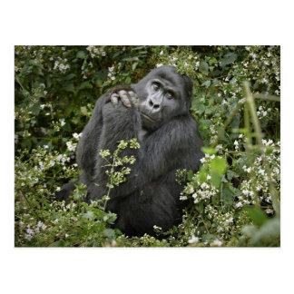 funny praying mountain gorilla :-) postcard