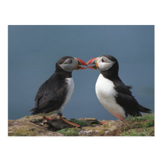Funny puffins postcard