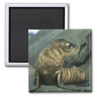 Fur Seal, Arctocephalus galapagoensis), young Fridge Magnets