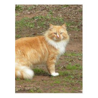 Furry Orange and White Cat Postcard