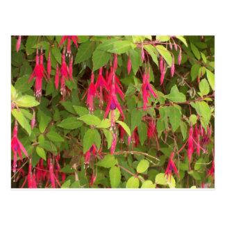 fuschia bush postcard