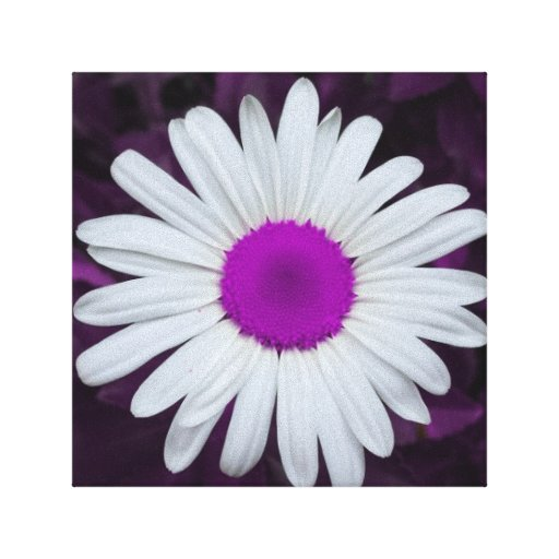 Fuschia Daisy Canvas Stretched Canvas Print