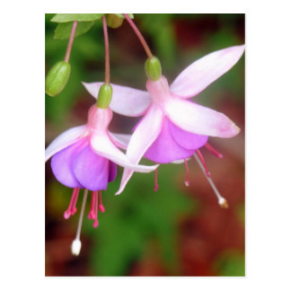 Fuschia Flowers Postcard