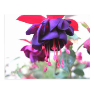 Fuschia, purple flower garden postcard