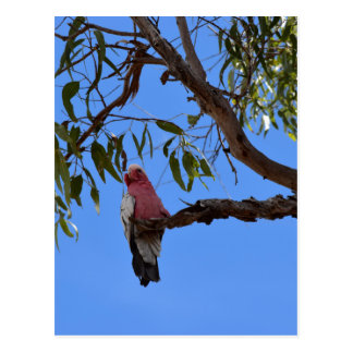 GALAH PINK IN A TREE RURAL QUEENSLAND AUSTRALIA POSTCARD