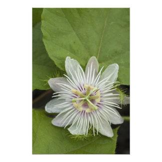 Galapagos Passion Flower Passiflora foetida Art Photo