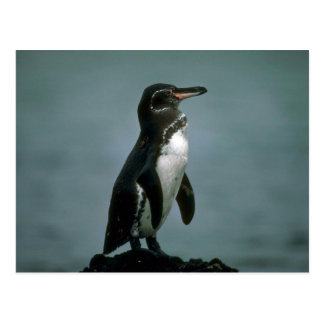 Galapagos' Penguin On Lava Rock Postcard
