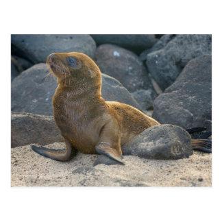 Galapagos sea lion postcard