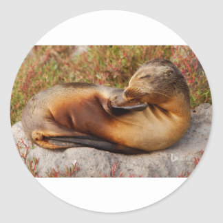 Galapagos Sea Lion Round Sticker