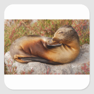 Galapagos Sea Lion Square Sticker