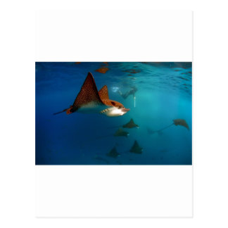 Galapagos underwater Spotted eagle rays Postcard
