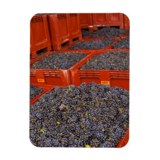 Gamay grapes just in from the harvest at the rectangular photo magnet