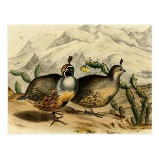 Gambels Partridge Postcard