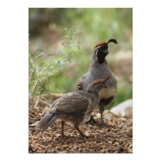 Gambel's Quail with chick Poster