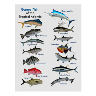Game Fish of the Tropical Atlantic Postcard