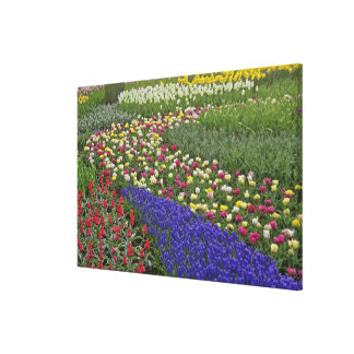 Garden design of Grape Hyacinth, and tulips, Stretched Canvas Print
