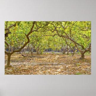 Garden / farm of guava/ Psidium guajava in autumn Poster