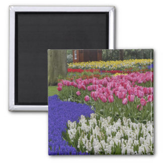 Garden of grape hyacinth, hyacinth and tulips, square magnet