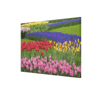 Garden of tulips, Grape Hyacinth and Gallery Wrap Canvas