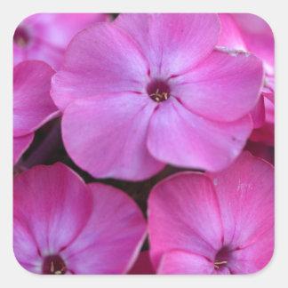 Garden phlox  (Phlox paniculata) Square Sticker