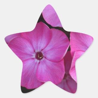 Garden phlox  (Phlox paniculata) Star Sticker