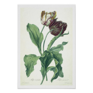 Garden Tulip, from 'Opera Botanica', engraved by L Poster