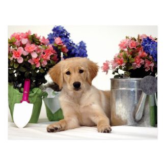 Gardening Golden Retriever Puppy Postcard