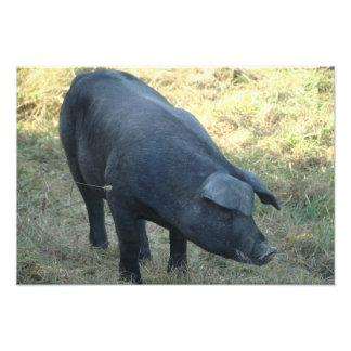 Gascon Pig Art Photo