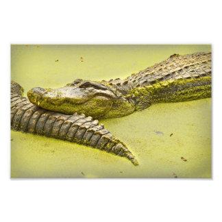 Gator Nap Time in Duckweed Art Photo