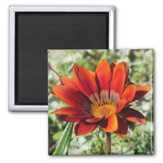 Gazania Bloom Magnet