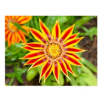 Gazania Flower Postcard
