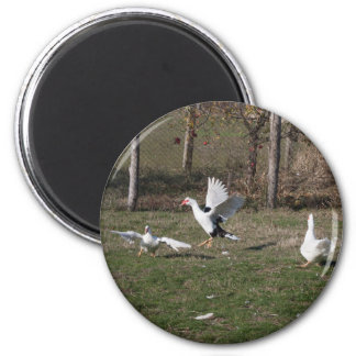 Geese fighting magnet