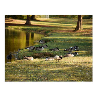 Geese in Athens Regional Park in Tennessee Postcard